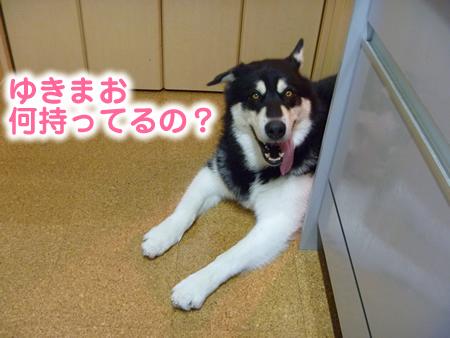 チワワ服01.jpg